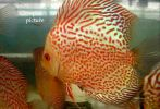 Golden-Snake-Spotted-Octopu.jpg